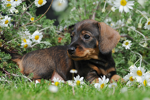 PUP 28 SS0006 01 © Kimball Stock Wire-Haired Dachshund Puppy Laying In Spring Meadow