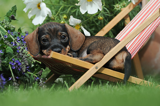 PUP 28 SS0007 01 © Kimball Stock Wire-Haired Dachshund Puppy Laying In Deck Chair By Flowers