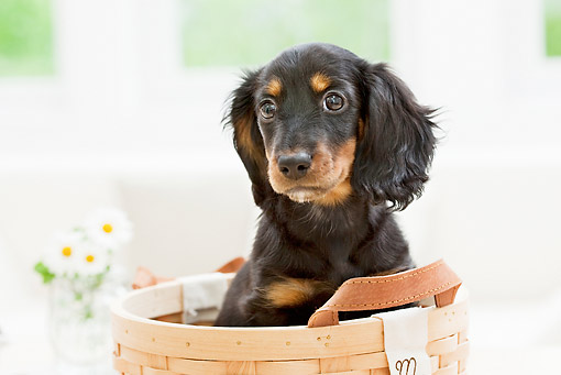 PUP 28 YT0014 01 © Kimball Stock Miniature Dachshund Puppy Sitting In Basket