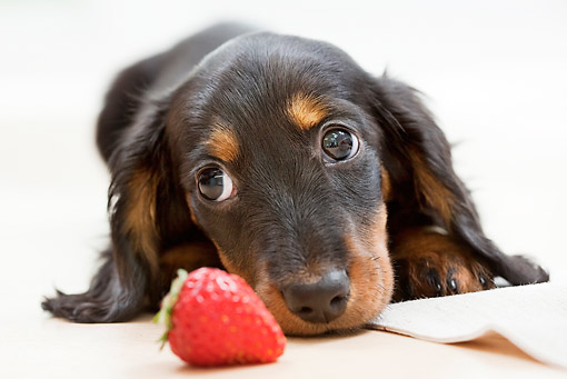 PUP 28 YT0016 01 © Kimball Stock Close-Up Of Miniature Dachshund Puppy Laying By Strawberry