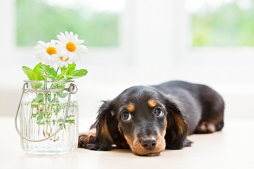 PUP 28 YT0018 01 © Kimball Stock Miniature Dachshund Puppy Laying By Vase Of Daisies