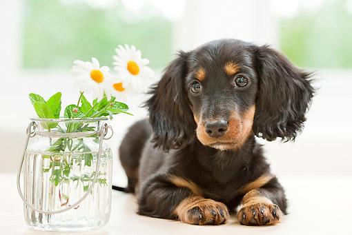 PUP 28 YT0019 01 © Kimball Stock Miniature Dachshund Puppy Laying By Vase Of Daisies