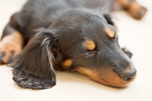 PUP 28 YT0020 01 © Kimball Stock Close-Up Of Miniature Dachshund Puppy Sleeping