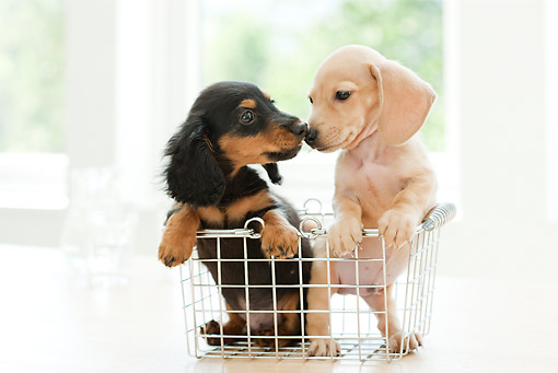 PUP 28 YT0021 01 © Kimball Stock Miniature Dachshund Puppies Kissing In Wire Basket