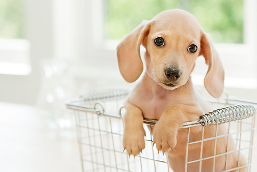 PUP 28 YT0022 01 © Kimball Stock Miniature Dachshund Puppy Sitting In Wire Basket