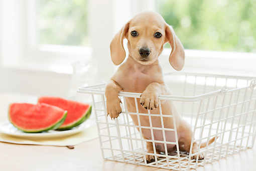 PUP 28 YT0023 01 © Kimball Stock Miniature Dachshund Puppy Sitting In Wire Basket By Watermelon