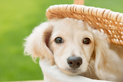 PUP 28 YT0028 01 © Kimball Stock Close-Up Of Miniature Dachshund Puppy In Picnic Basket