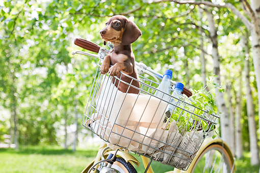 PUP 28 YT0029 01 © Kimball Stock Miniature Dachshund Puppy In Bicycle Basket