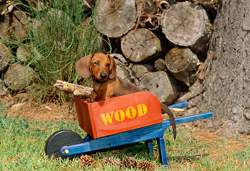 PUP 28 CE0001 01 © Kimball Stock Miniature Smooth Dachshund Puppy Sitting In Wheelbarrow By Woodpile