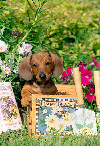 PUP 28 CE0002 01 © Kimball Stock Miniature Smooth Dachshund Puppy Sitting In Box By Flowers Shovel Shrubs