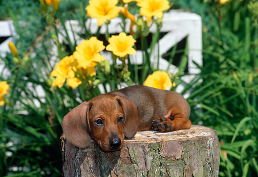PUP 28 CE0003 01 © Kimball Stock Miniature Smooth Dachshund Puppy Laying On Tree Stump By Flowers