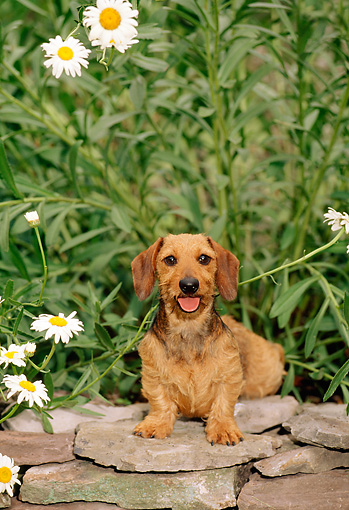 PUP 28 CE0004 01 © Kimball Stock Miniature Wirehaired Dachshund Puppy Sitting On Stone Wall By Flowers