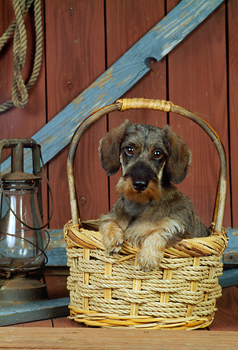 PUP 28 CE0006 01 © Kimball Stock Miniature Wirehaired Dachshund Puppy Sitting In Basket By Lantern In Barn