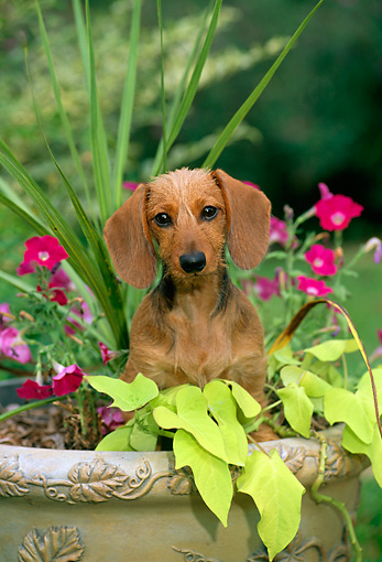 PUP 28 CE0007 01 © Kimball Stock Miniature Wirehaired Dachshund Puppy Sitting In Planter By Flowers
