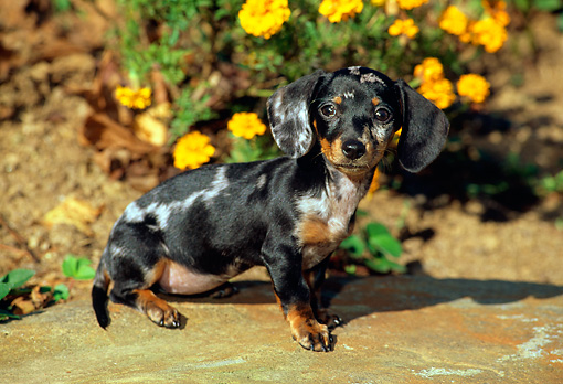 PUP 28 CE0008 01 © Kimball Stock Miniature Smooth Dachshund Puppy Sitting On Rock By Flowers