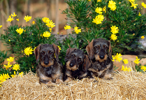 PUP 28 CE0011 01 © Kimball Stock Three Miniature Wirehaired Dachshund Puppies Laying On Hay Bale By Flowers