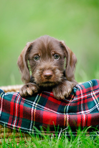 PUP 28 KH0002 01 © Kimball Stock Chocolate Dachshund Puppy In Plaid Cloth Sitting In Field