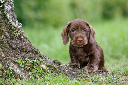 PUP 28 KH0003 01 © Kimball Stock Chocolate Dachshund Puppy  Sitting Next To Tree In Field