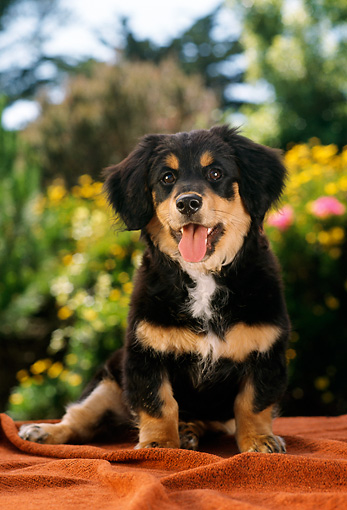 PUP 28 RC0003 01 © Kimball Stock Long-haired Dachshund Puppy Black And Tan Sitting On Blanket In Garden By Flowers Shrubs Trees