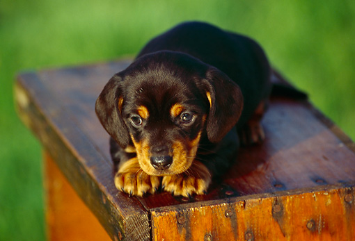 PUP 28 RK0004 04 © Kimball Stock Dachshund Puppy Laying On Wooden Box On Grass