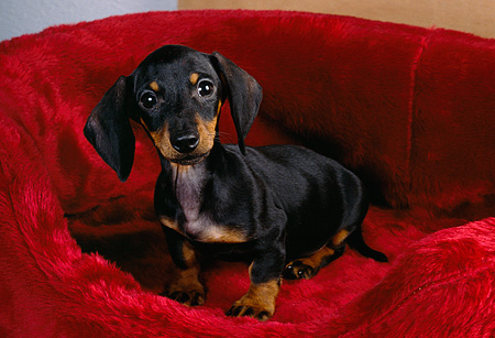 PUP 28 RK0007 01 © Kimball Stock Dachshund Puppy Sitting In Red Dog Bed