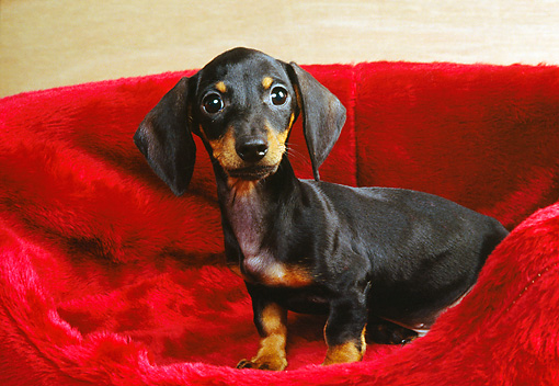 PUP 28 RK0007 06 © Kimball Stock Dachshund Puppy Sitting In Red Dog Bed