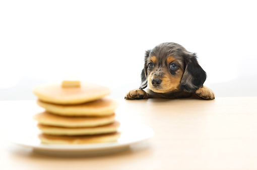 PUP 28 YT0002 01 © Kimball Stock Dachshund Puppy Looking At Pancakes On Table