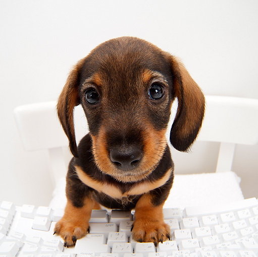 PUP 28 YT0004 01 © Kimball Stock Dachshund Puppy Standing On Chair With Paws On Keyboard