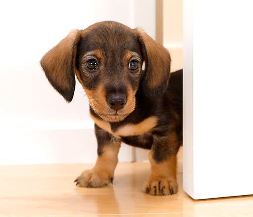 PUP 28 YT0008 01 © Kimball Stock Close-Up Of Dachshund Puppy Standing In Doorway