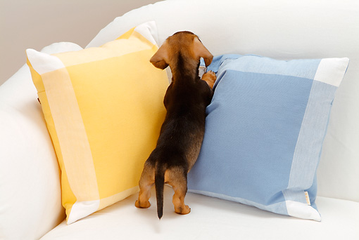 PUP 28 YT0010 01 © Kimball Stock Dachshund Puppy Standing On White Couch With Pillows