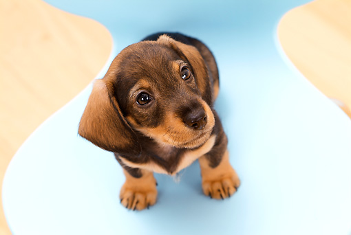 PUP 28 YT0011 01 © Kimball Stock Dachshund Puppy Sitting On Blue Chair