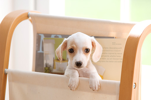 PUP 28 YT0012 01 © Kimball Stock Dachshund Puppy Peeking Out Of Magazine Holder