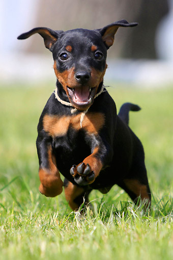 PUP 29 AC0001 01 © Kimball Stock Miniature Pinscher Puppy Running On Grass