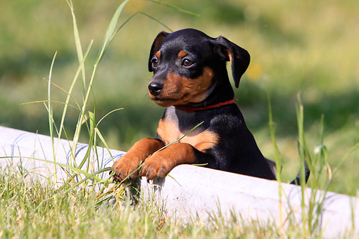 PUP 29 AC0002 01 © Kimball Stock Miniature Pinscher Puppy Leaning On Pipe In Grass