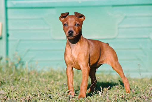 PUP 29 CB0003 01 © Kimball Stock Pinscher Puppy Standing On Grass