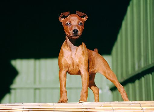 PUP 29 CB0004 01 © Kimball Stock Pinscher Puppy Standing On Bamboo Floor
