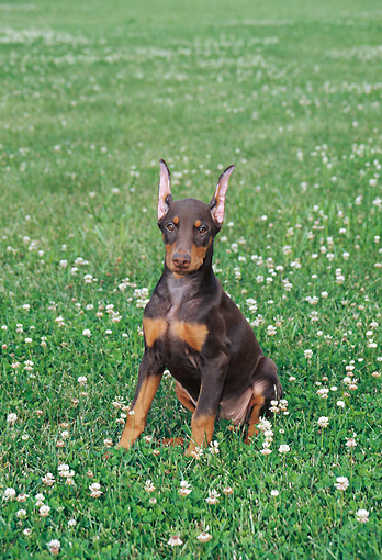PUP 29 FA0004 01 © Kimball Stock Doberman Pinscher Puppy Sitting On Grass With Wildflowers