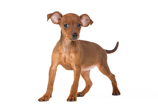PUP 29 JE0001 01 © Kimball Stock Miniature Pinscher Puppy Standing On White Seamless