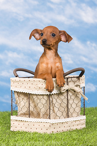 PUP 29 JE0003 01 © Kimball Stock Miniature Pinscher Puppy Sitting In Basket On Lawn