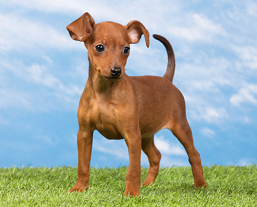 PUP 29 JE0005 01 © Kimball Stock Miniature Pinscher Puppy Standing On Lawn