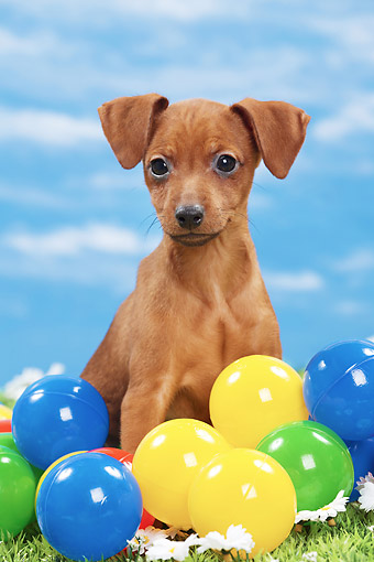 PUP 29 JE0006 01 © Kimball Stock Miniature Pinscher Puppy Sitting In Colorful Plastic Balls