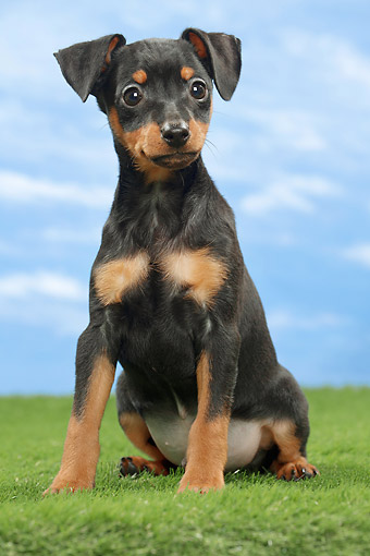 PUP 29 JE0007 01 © Kimball Stock Miniature Pinscher Puppy Sitting On Grass