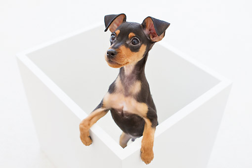 PUP 29 YT0001 01 © Kimball Stock Miniature Pinscher Puppy Standing In White Box On White Seamless