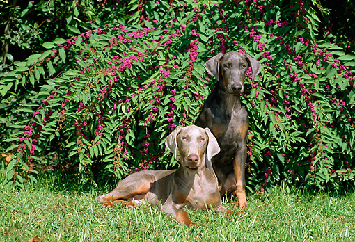 PUP 29 CE0002 01 © Kimball Stock Two Doberman Pinscher Puppies Laying On Grass By Flowering Shrubs