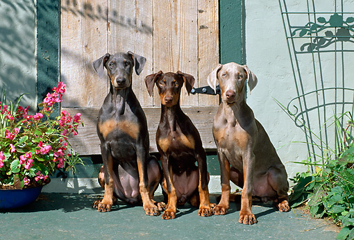 PUP 29 CE0003 01 © Kimball Stock Three Doberman Pinscher Puppies Sitting By Flowers And Door