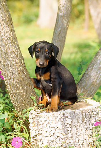 PUP 29 CE0007 01 © Kimball Stock Doberman Pinscher Puppy Sitting On Tree Stump By Tree And Flowers