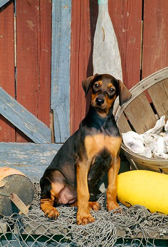 PUP 29 CE0008 01 © Kimball Stock Doberman Pinscher Puppy Sitting On Dock By Net And Boathouse