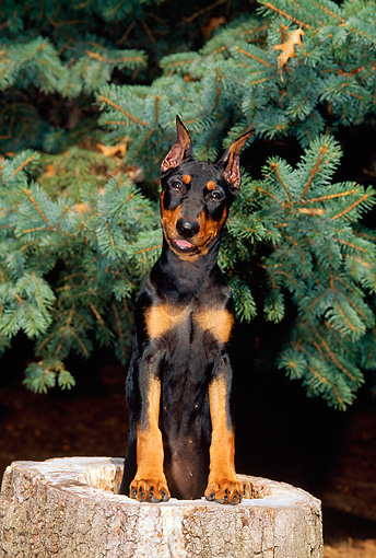 PUP 29 CE0009 01 © Kimball Stock Head On View Of German Pinscher Puppy Standing Inside Tree Stump By Evergreen