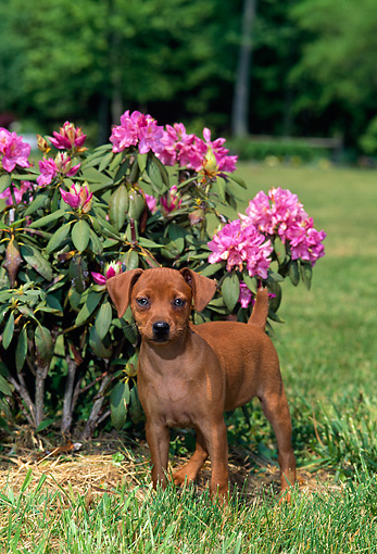 PUP 29 CE0010 01 © Kimball Stock Miniature Pinscher Puppy Standing In Grass By Pink Flowers