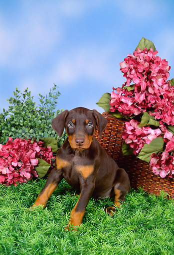 PUP 29 FA0001 01 © Kimball Stock Doberman Pinscher Puppy Sitting By Basket And Red Flowers
